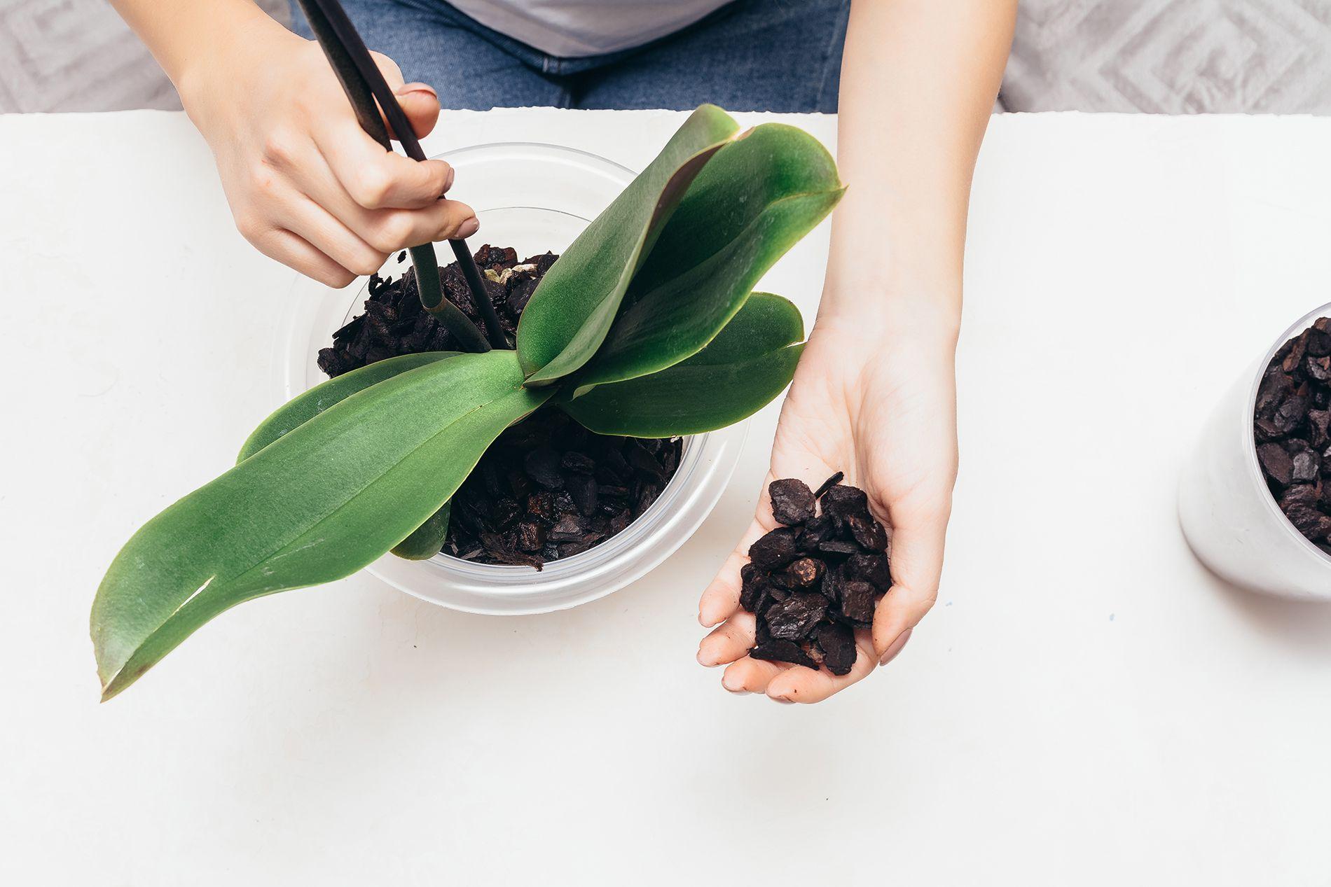 orkide saksı değişimi