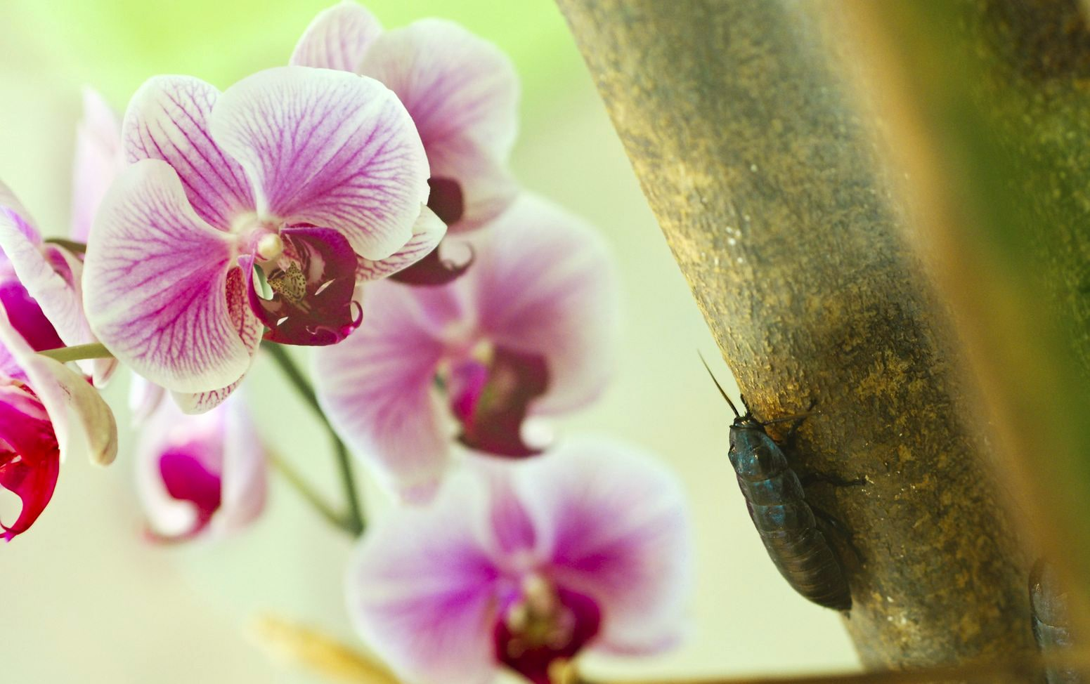 orkide böceklenmesi ve orkide zararlıları