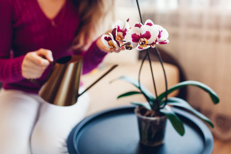 yeni alınan orkide bakımı